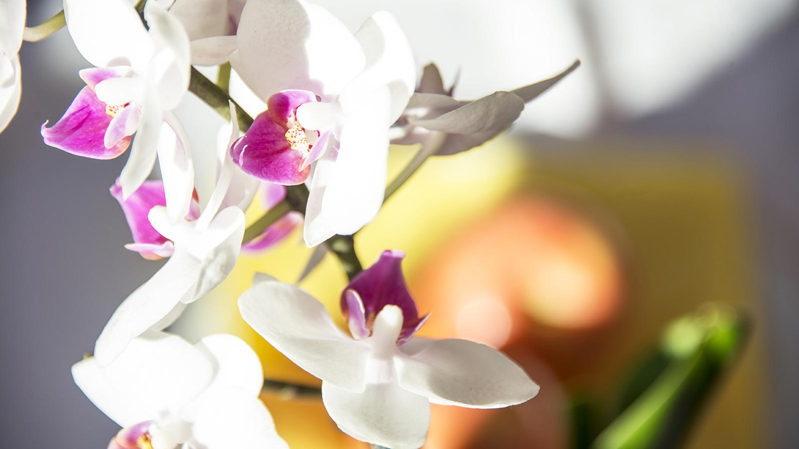 Gracious orchid in white and purple color